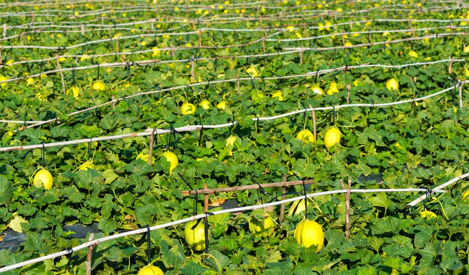 Los melones de la paca ii - 4 9