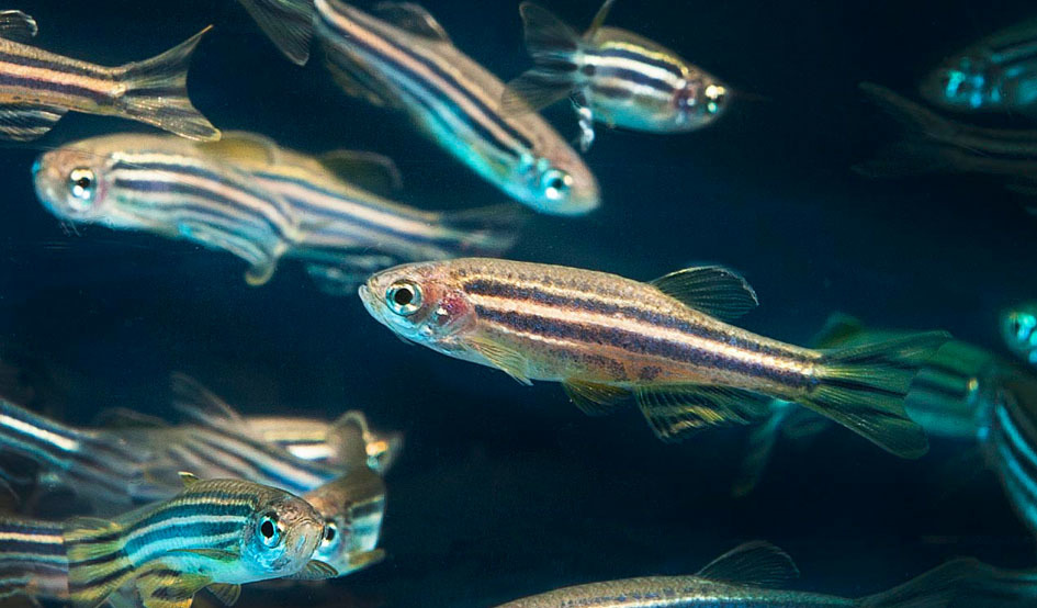 Larger zebrafish