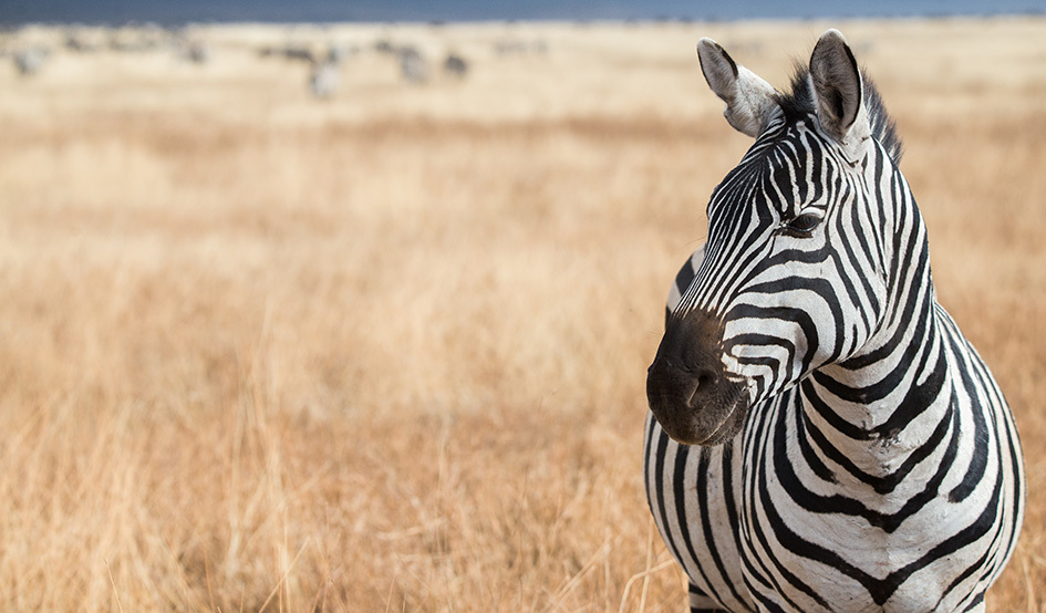 Larger zebra