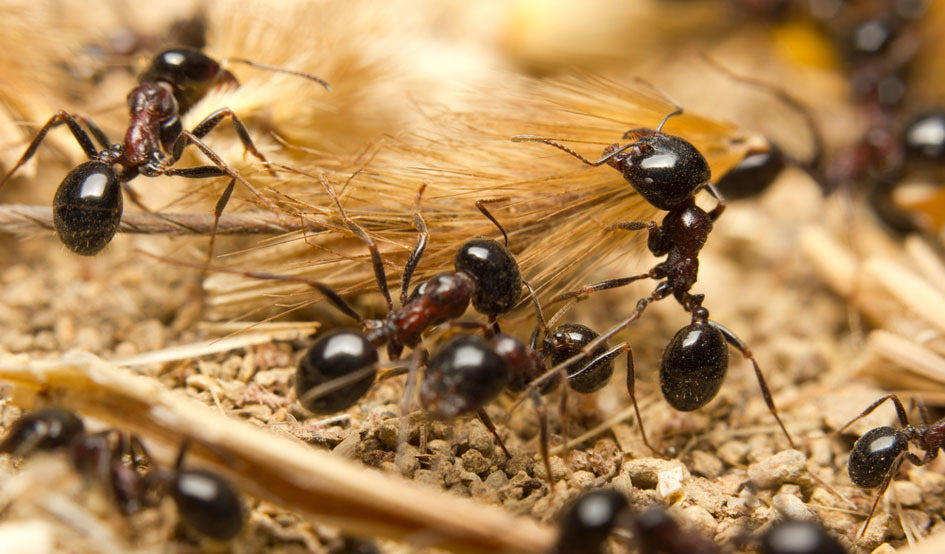 Larger ants